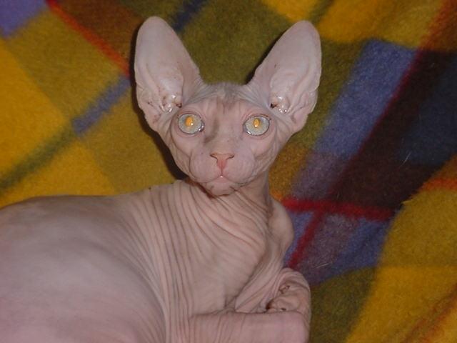 http://legaluchat.free.fr/encyclo/animal-de-compagnie/animaux-de-compagnie/chat-sans-poil.jpg